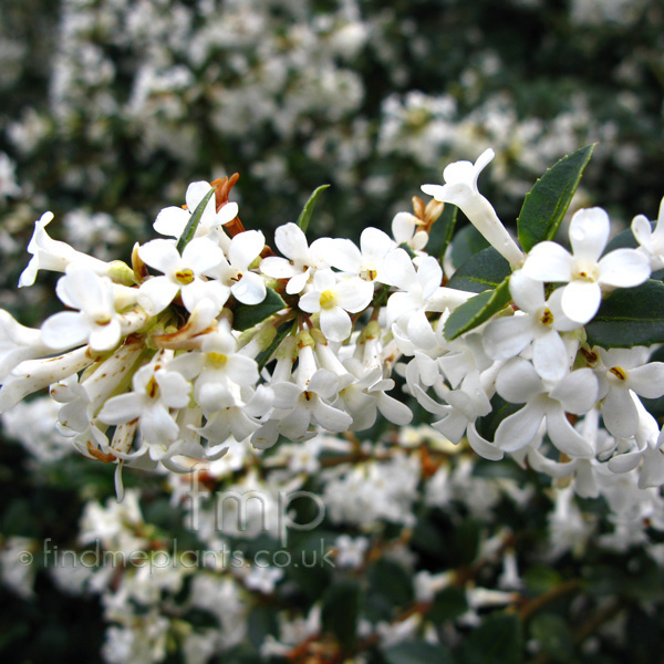 Big Photo of Osmanthus Delavayi Fl
