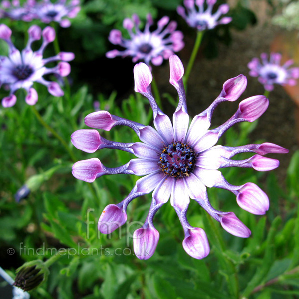 Big Photo of Osteospermum Pinkwhirls Fl