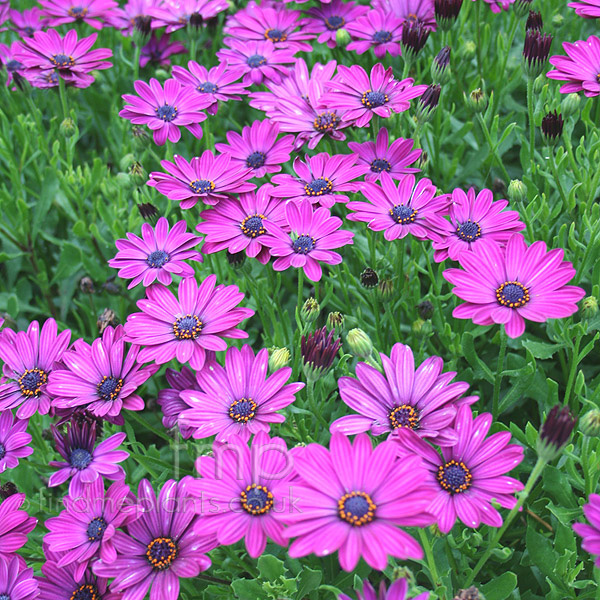 Big Photo of Osteospermum Sunnymary