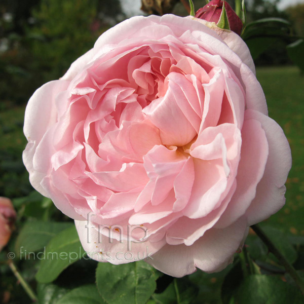 Big Photo of Rosa Eglantyne Ausmark Fl