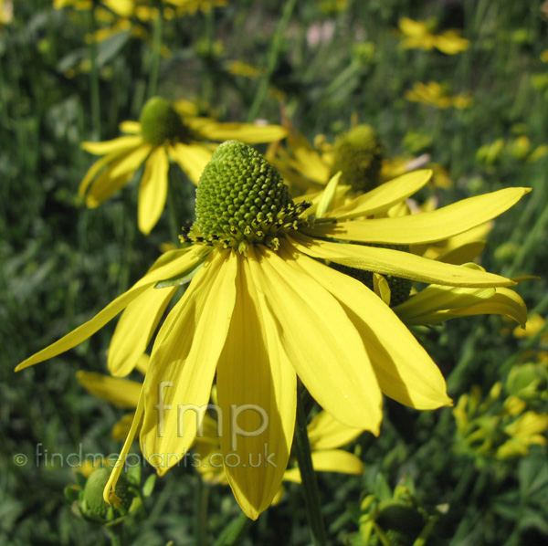 Big Photo of Rudbeckia Goldquelle