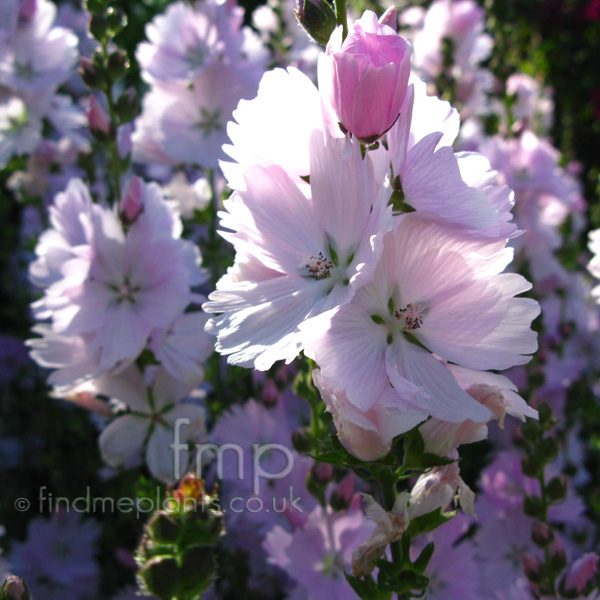 Big Photo of Sidalcea Elsieheugh Fl