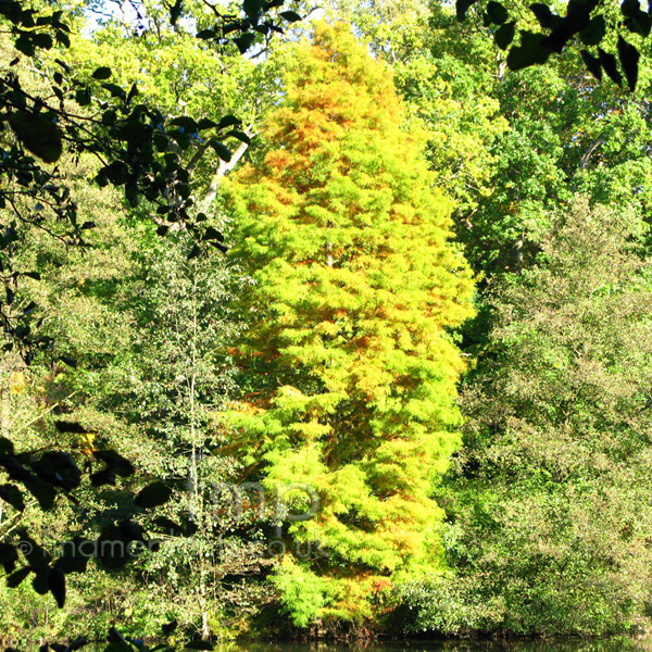 Big Photo of Taxodium Distichum Aut