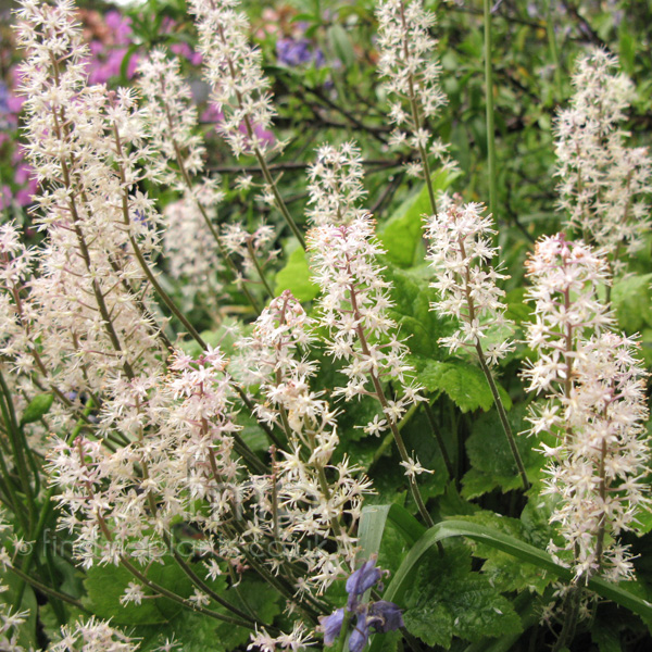 Big Photo of Tiarella Tigerstripe Fl