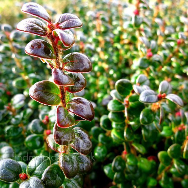 Big Photo of Vaccinium Nummularia