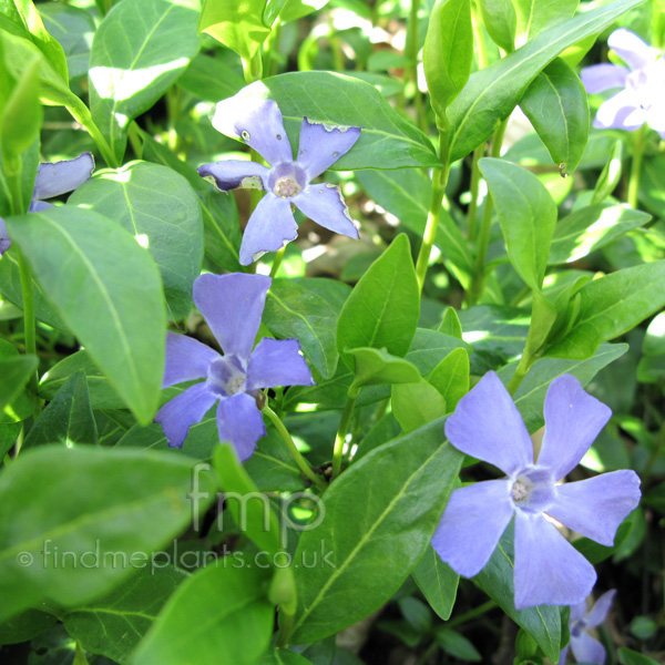 Big Photo of Vinca Bowlesvariety