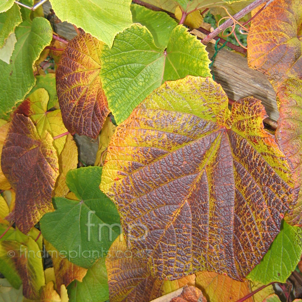 Big Photo of Vitis Coignetiae